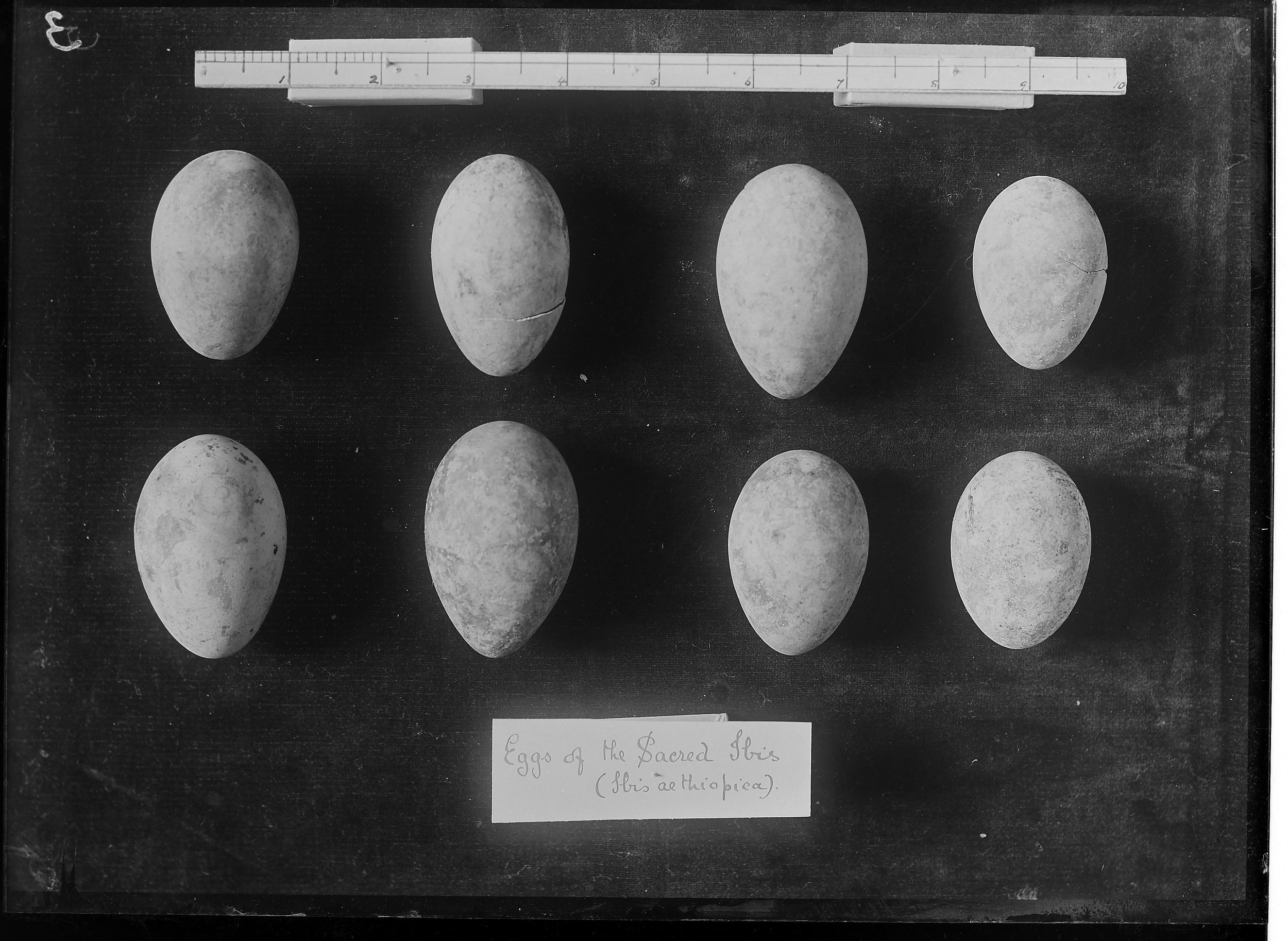 Fig. 6. Examples of excavated ibis eggs from W.L.S. Loat's excavations in the early 20th Century. Photo courtesy of the  Egypt Exploration Society