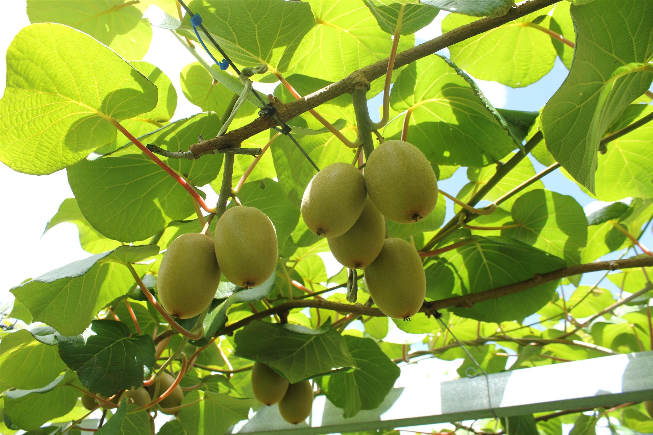 g3 kiwifruit