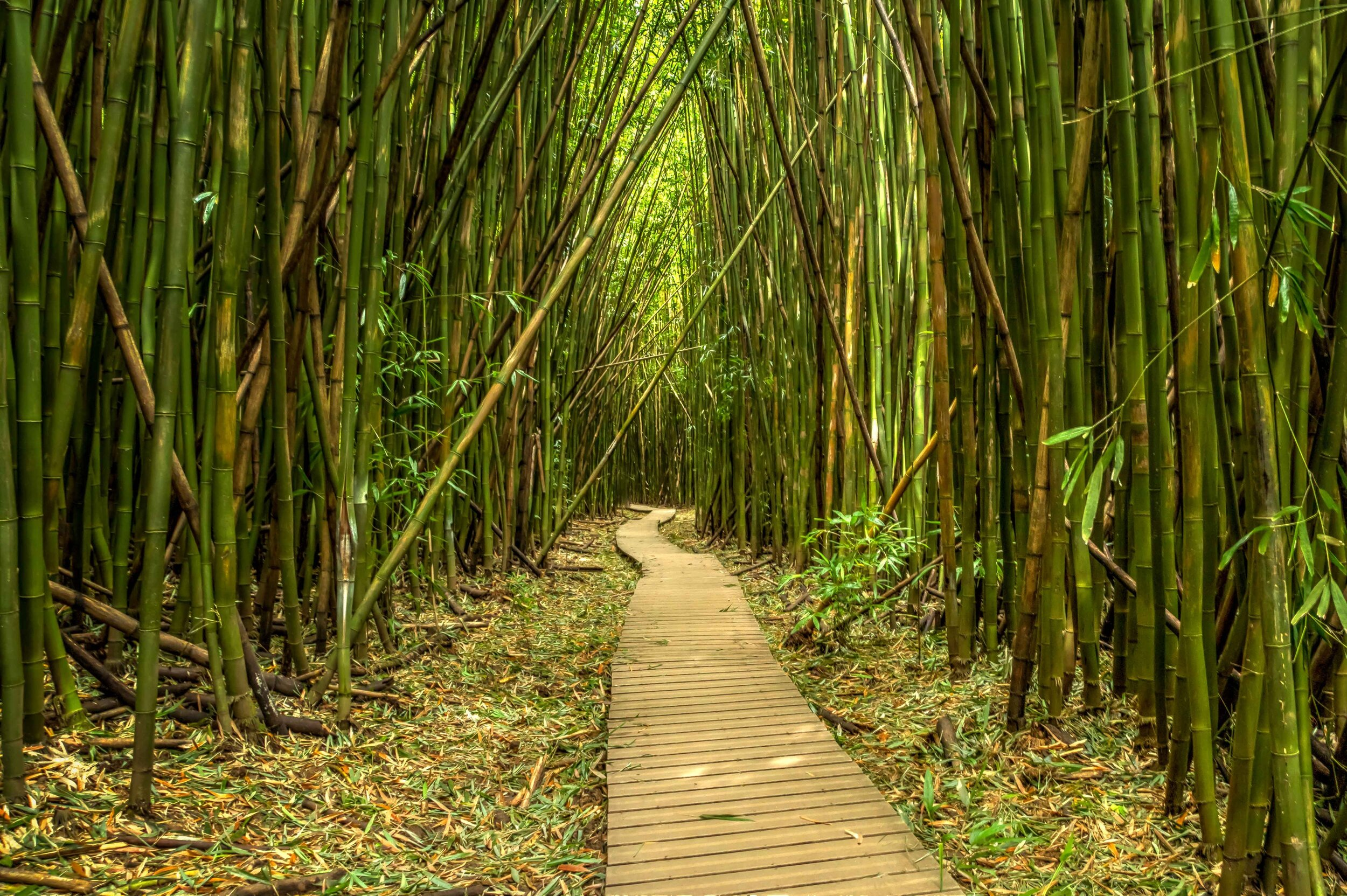 Bamboo forest @  Haleakala National Park.  When the wind came through, it sounded like an orchestra of rattles.    @roger.cummings