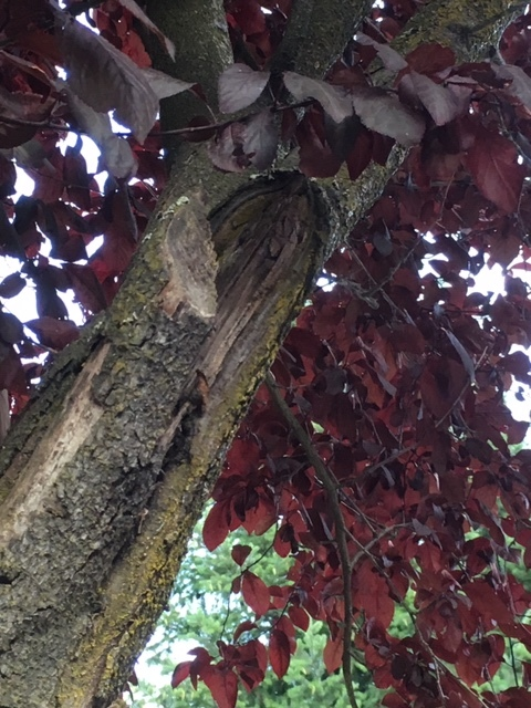 Closer inspection reveals some past pruning damage and scatting as the result of previous breaks.