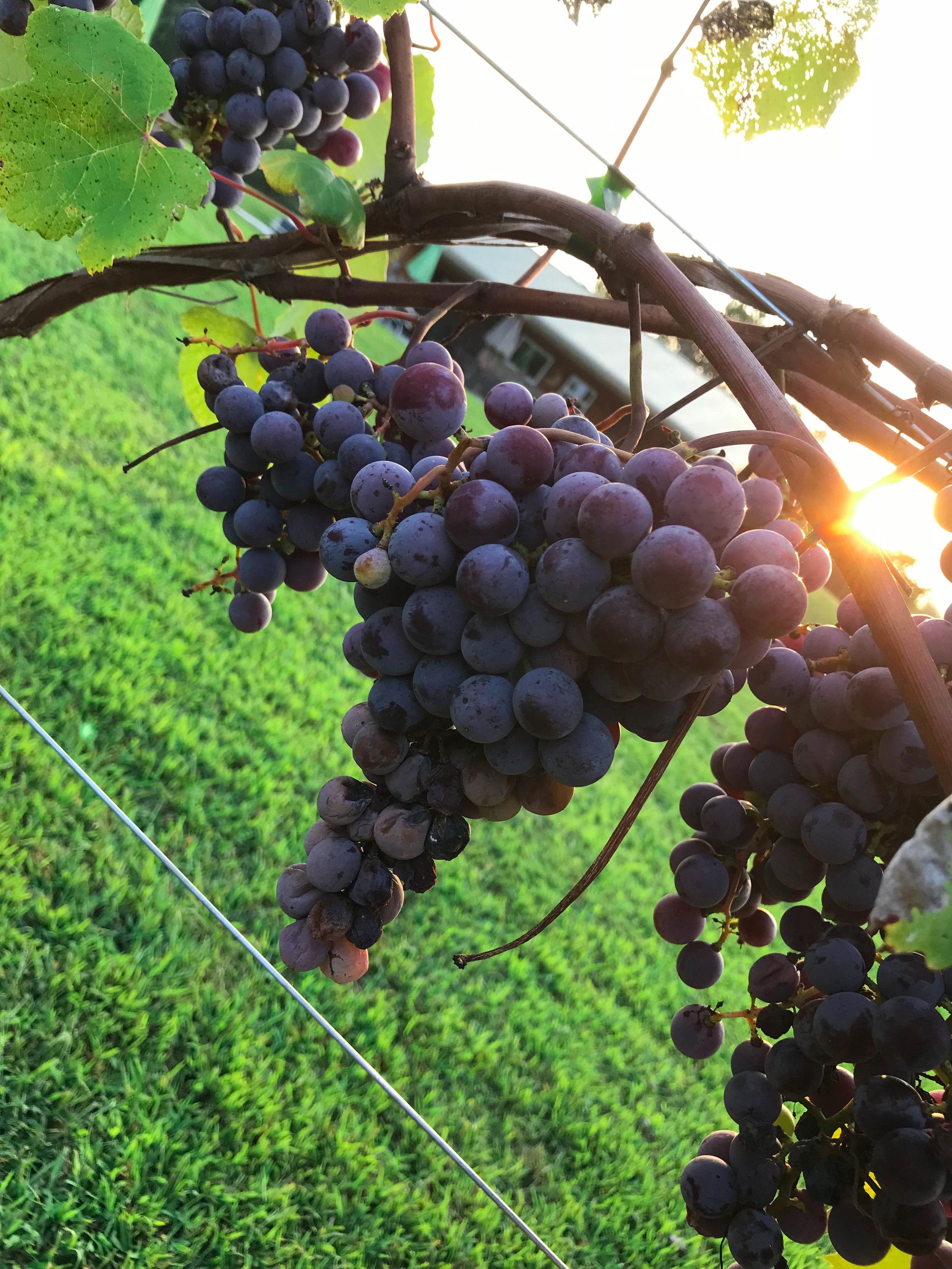 Catawba Winery in background.jpg