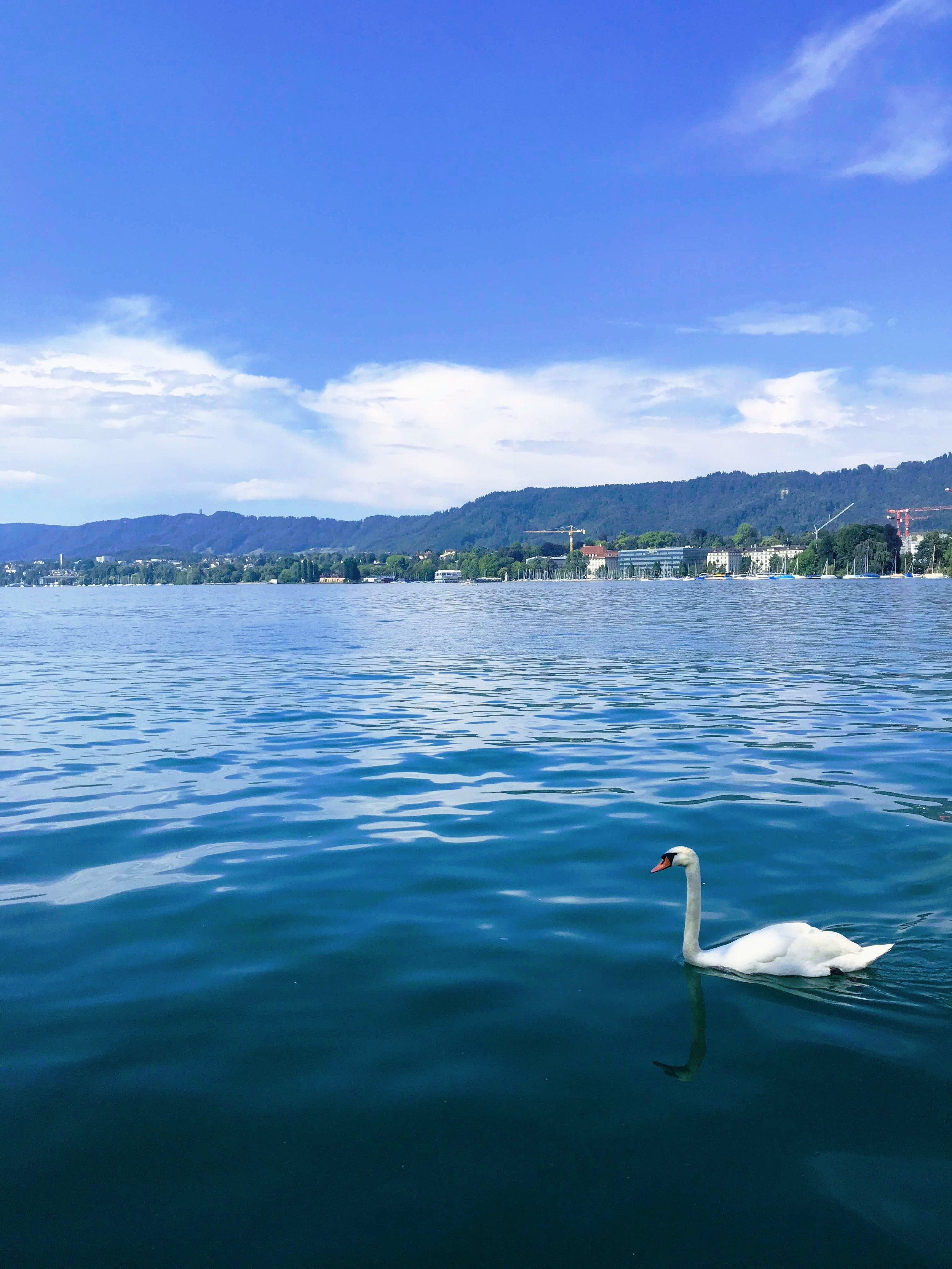 Swans near Bellevue on Lake Zurich