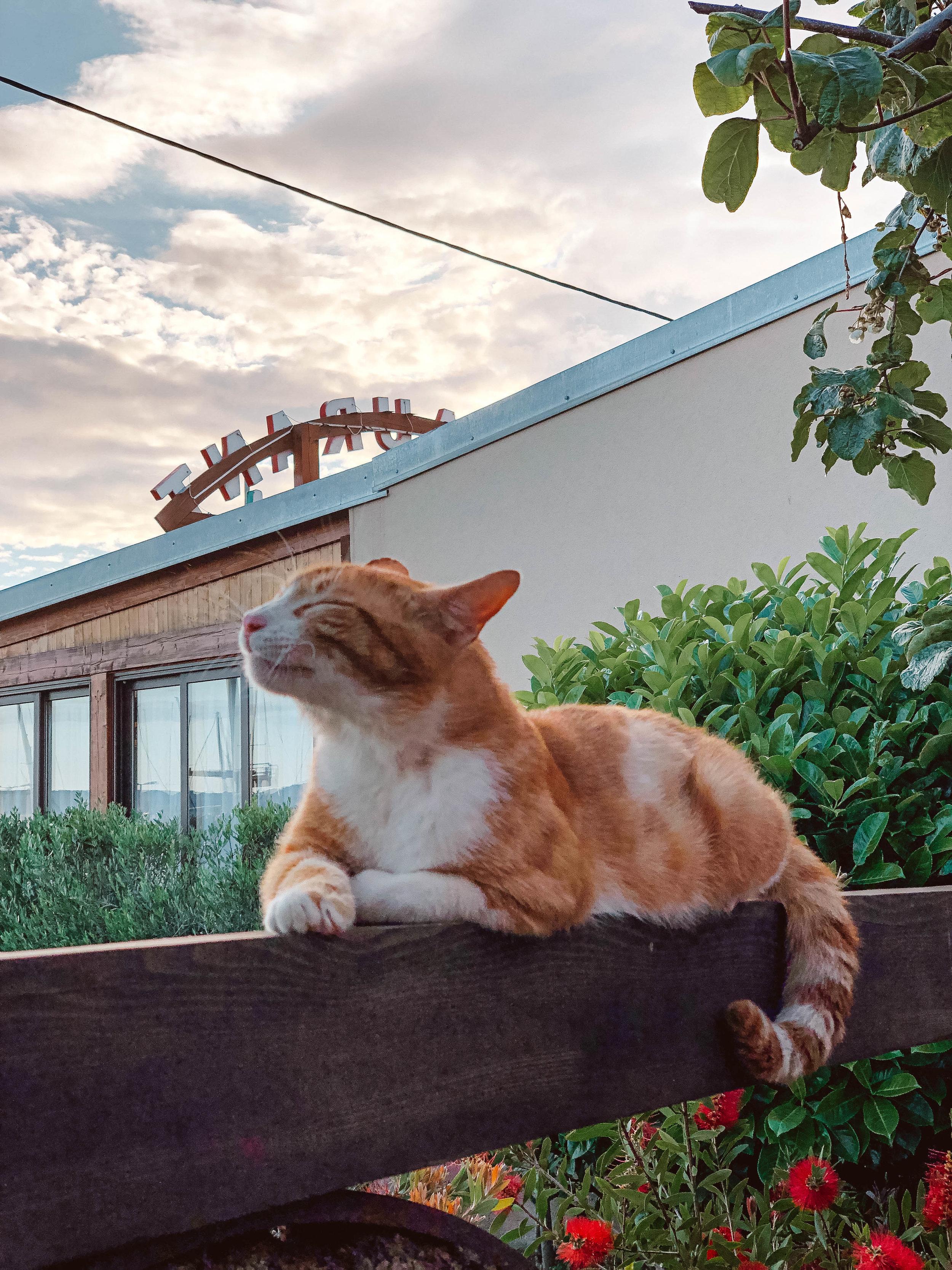 Cat in Borik, near Zadar, Croatia