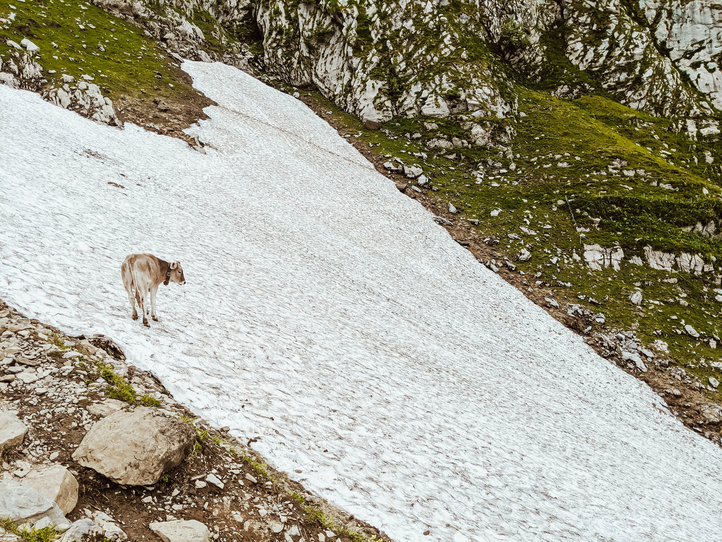 Cow on snow in Appenzell.jpg