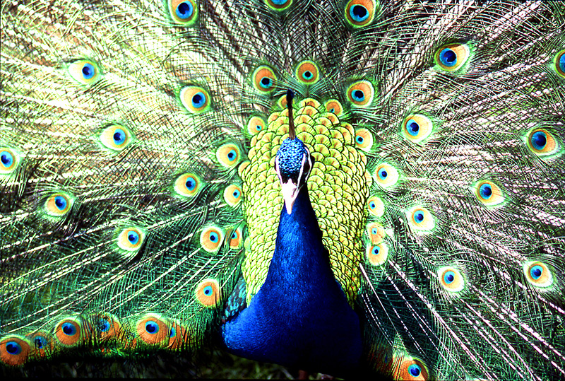 Richard Muir - Peacock