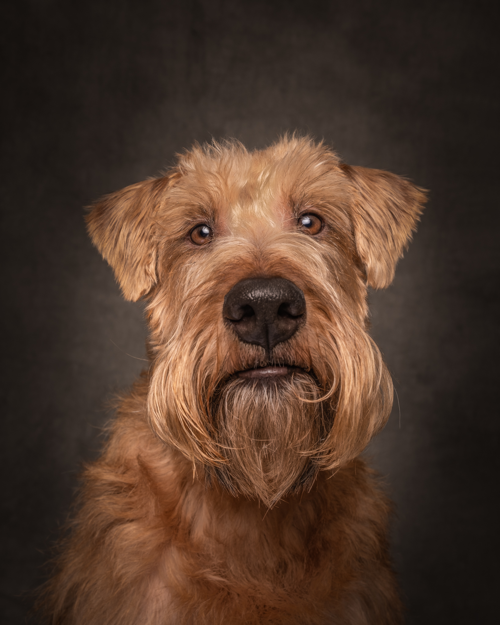 vancouver-pet-photographer-irish-terrier-portrait.jpg