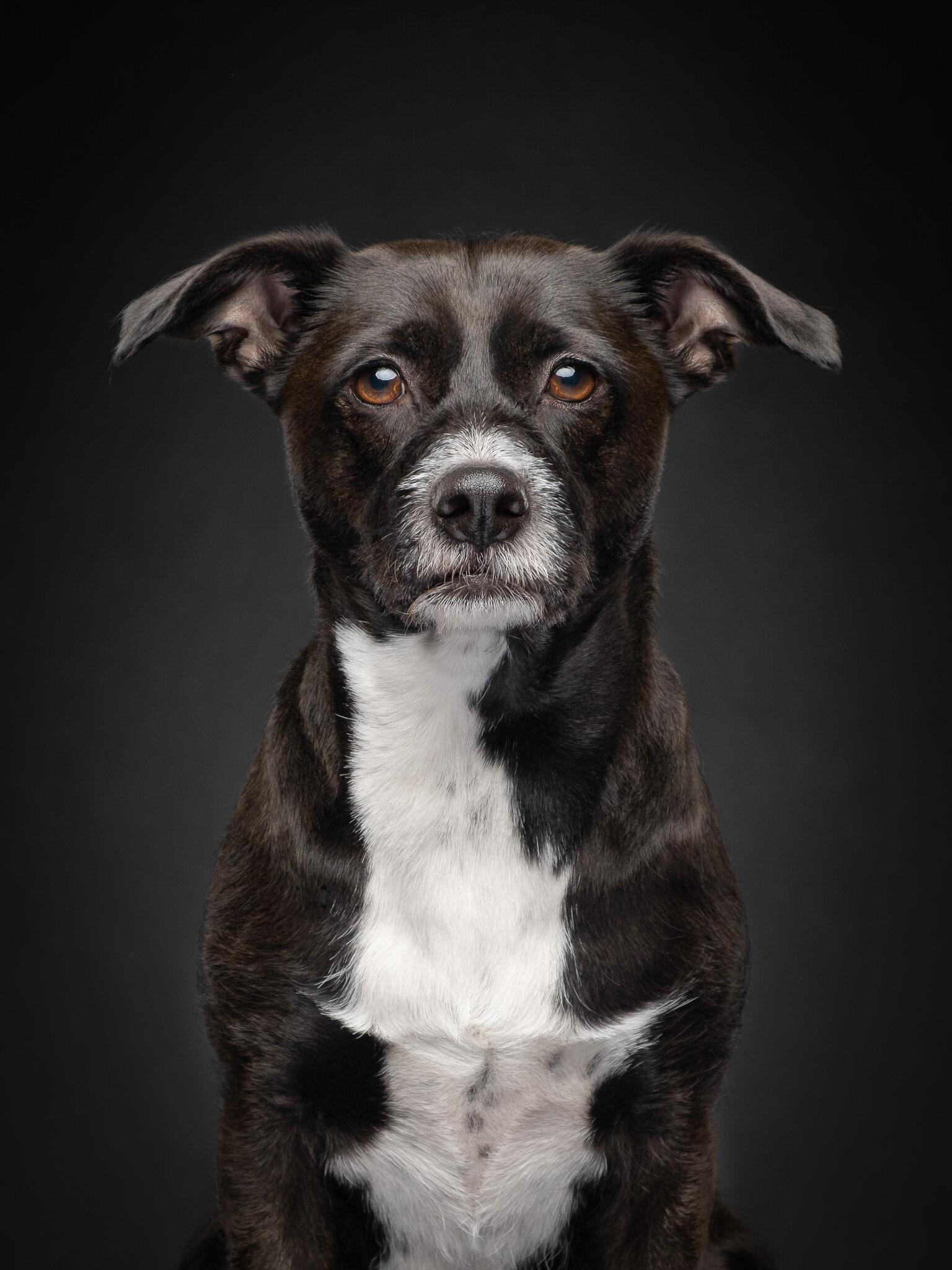 Dog Portraits Jane Thomson Photography
