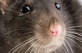Rodents…. - .