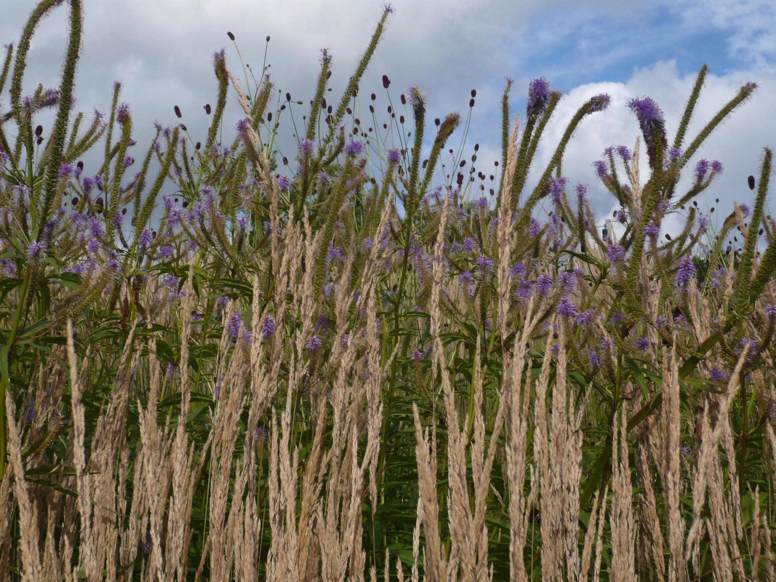 Grasses in sloping bank garden (2013)