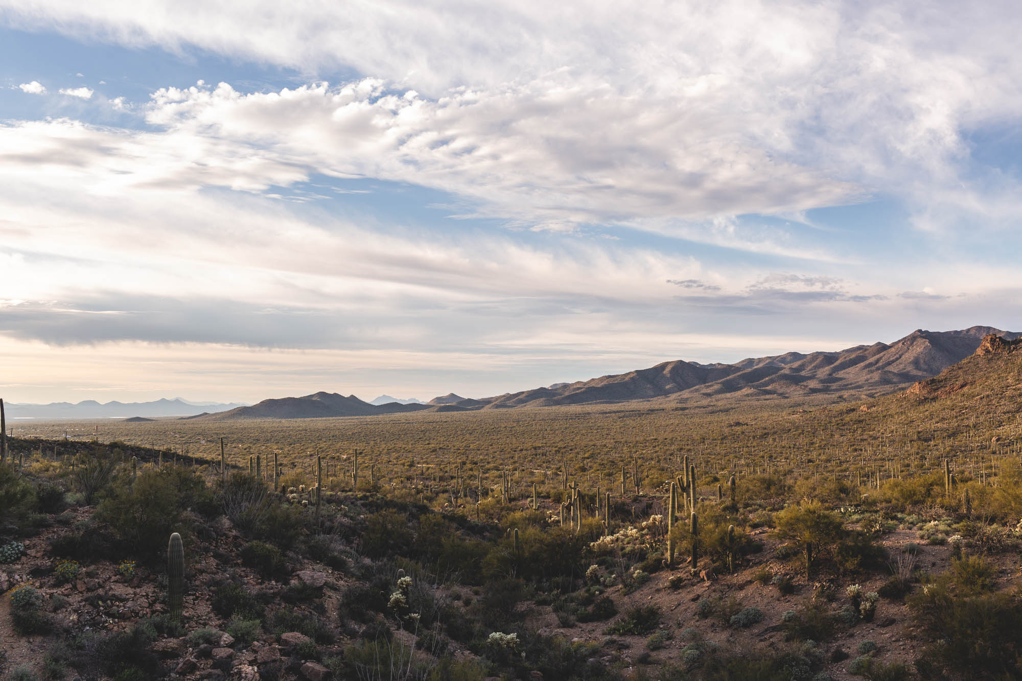 sonoran desert saguaro cactus dusk