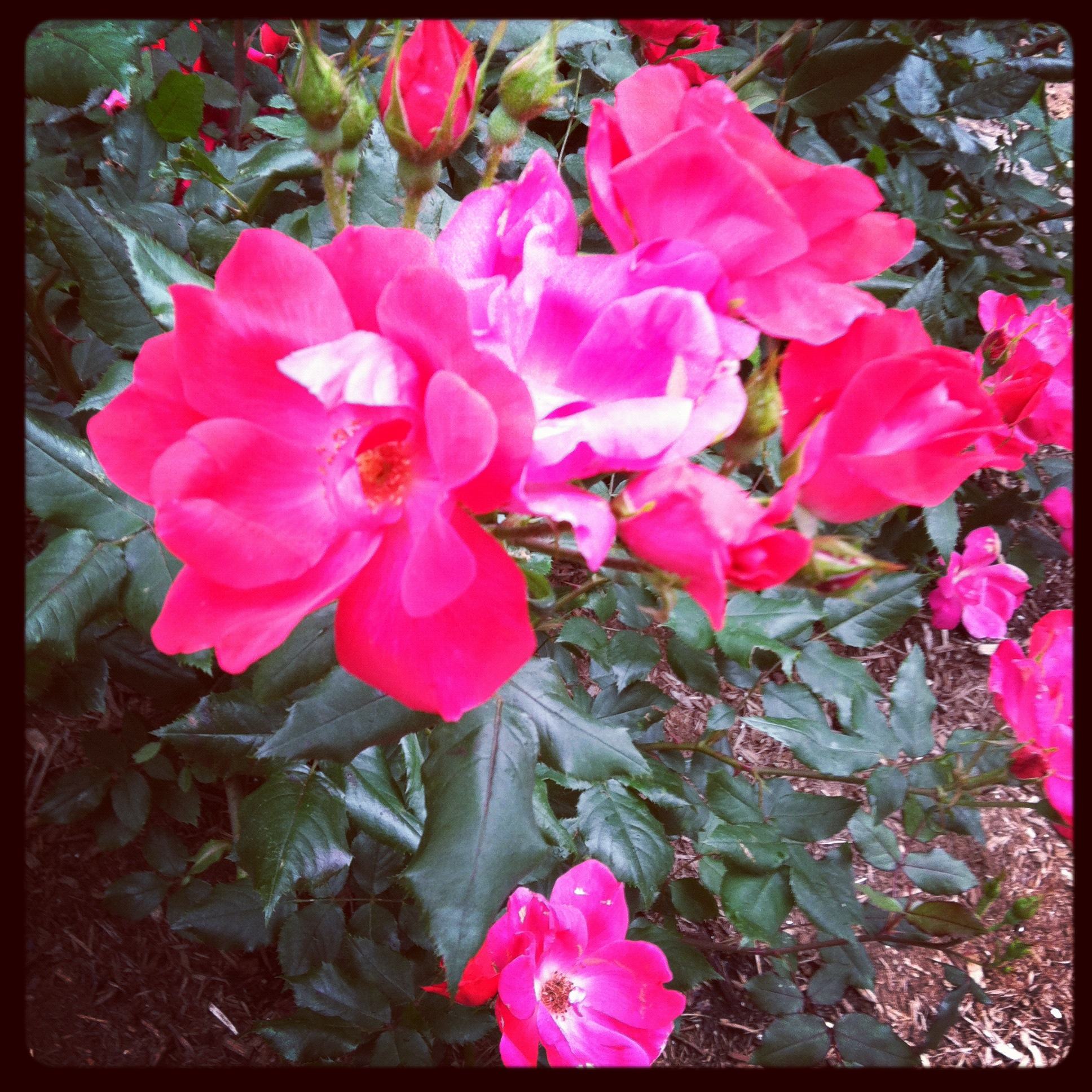 "some more of the beautiful pink flowers around DC... i think pink is the ""in"" color for flowers this year."