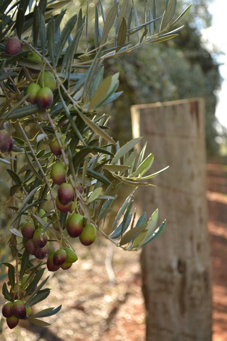 Cobram Estate olive groves