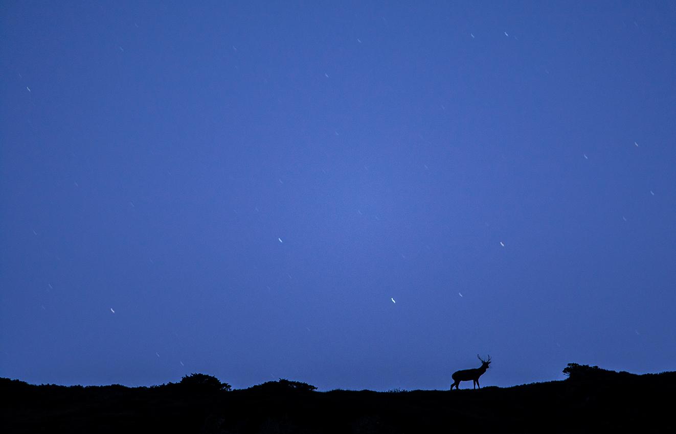 Cerf élaphe / Red deer  (Cervus elaphus)