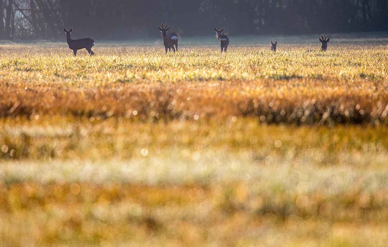 Chevreuils européens / Roe deers  (Capreolus capreolus)
