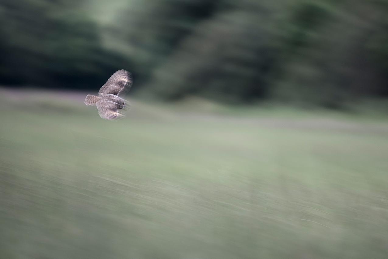 Hibou moyen-duc / Long-eared owl (Asio otus)