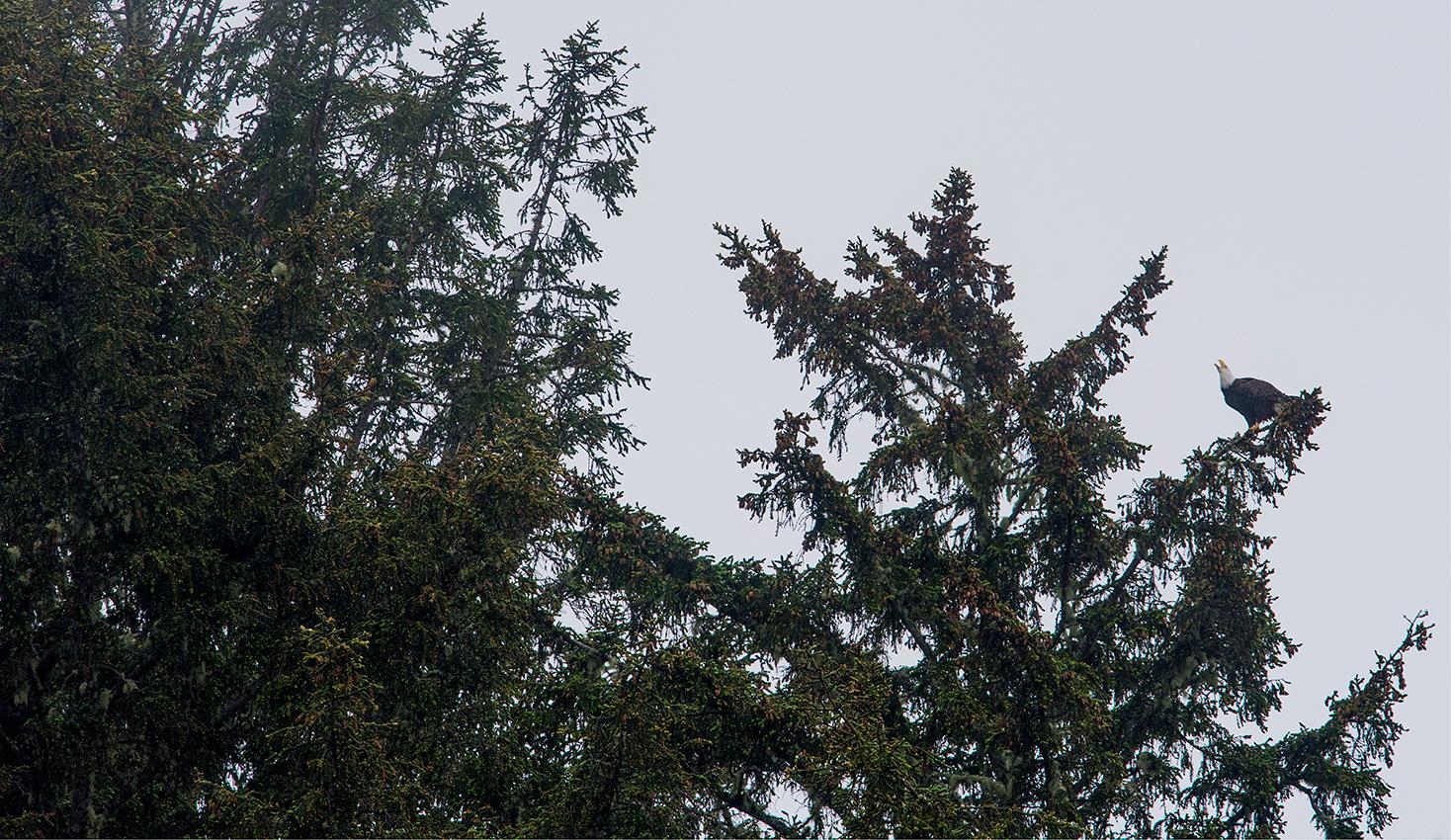 Pygargue à tête blanche / Bald eagle  (Haliaeetus leucocephalus)