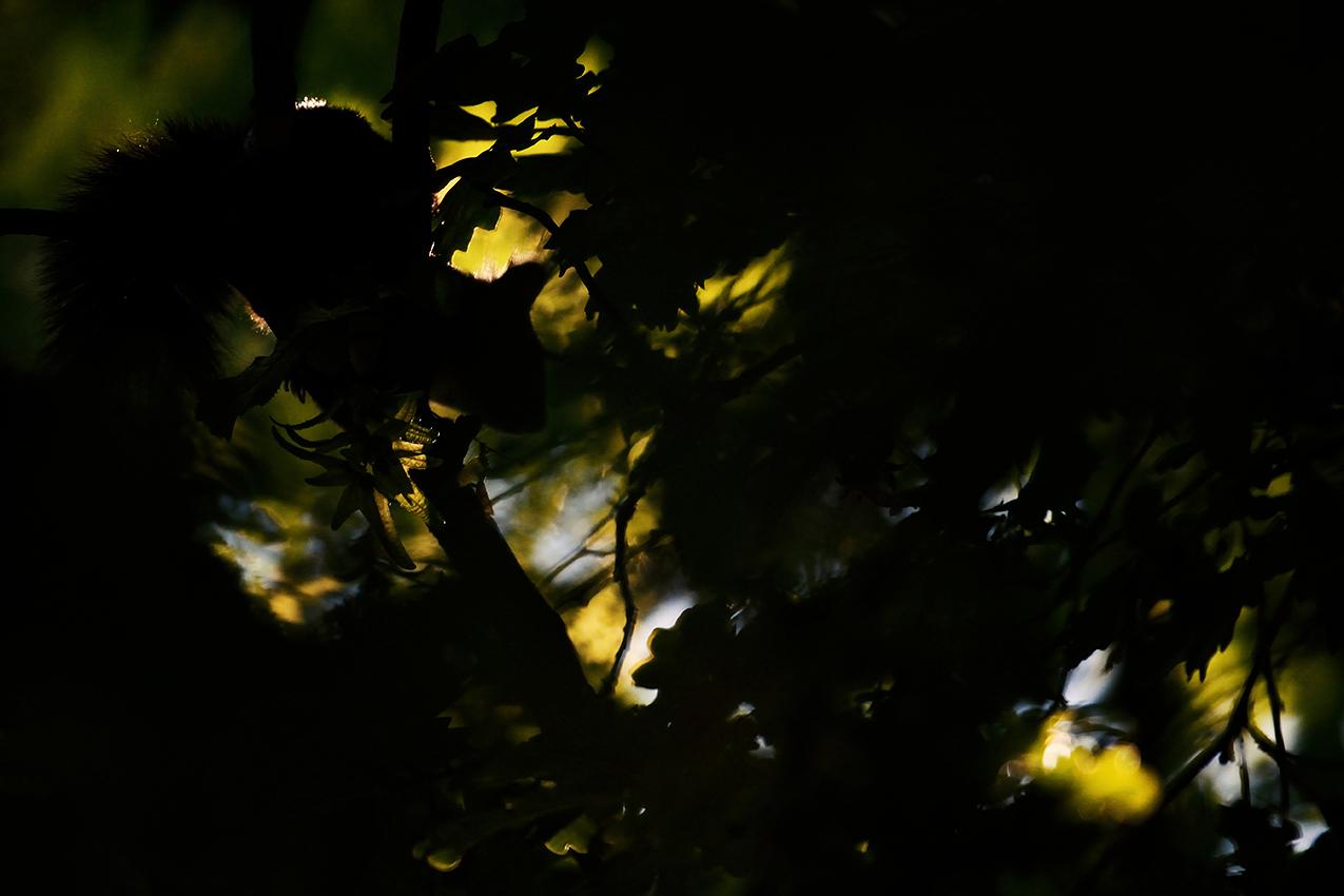 Écureuil roux / Red squirrel  (Sciurus vulgaris)