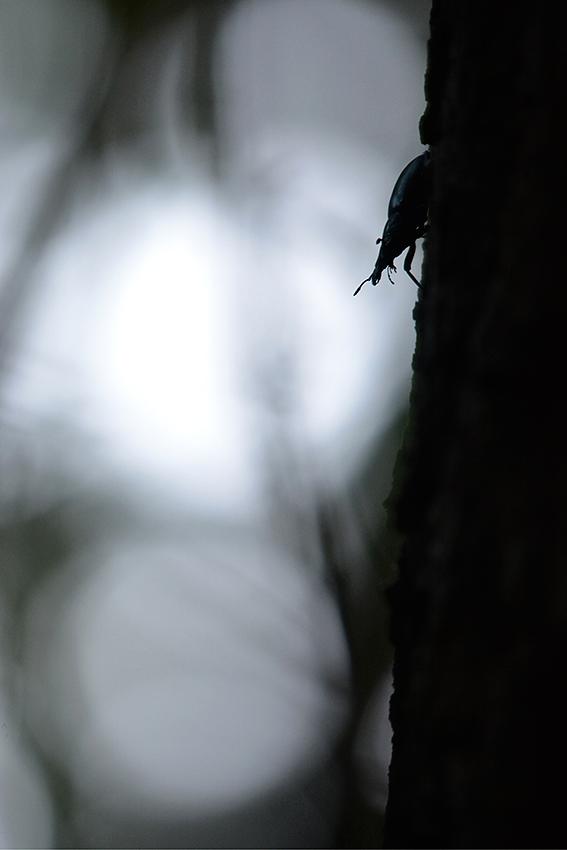 Grande biche / Stag beetle  (Lucanus cervus)
