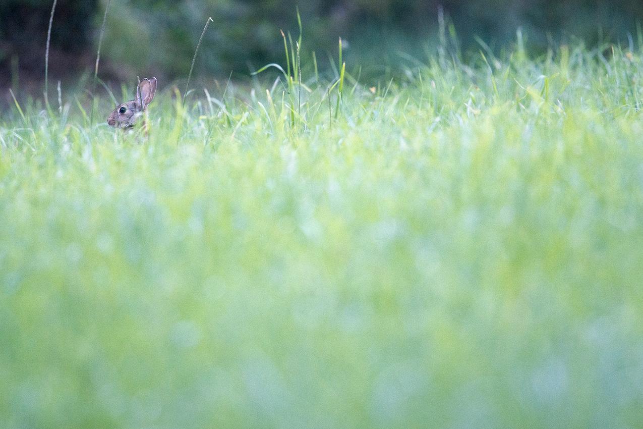 Lapin de garenne / European rabbit  (Oryctolagus cuniculus)