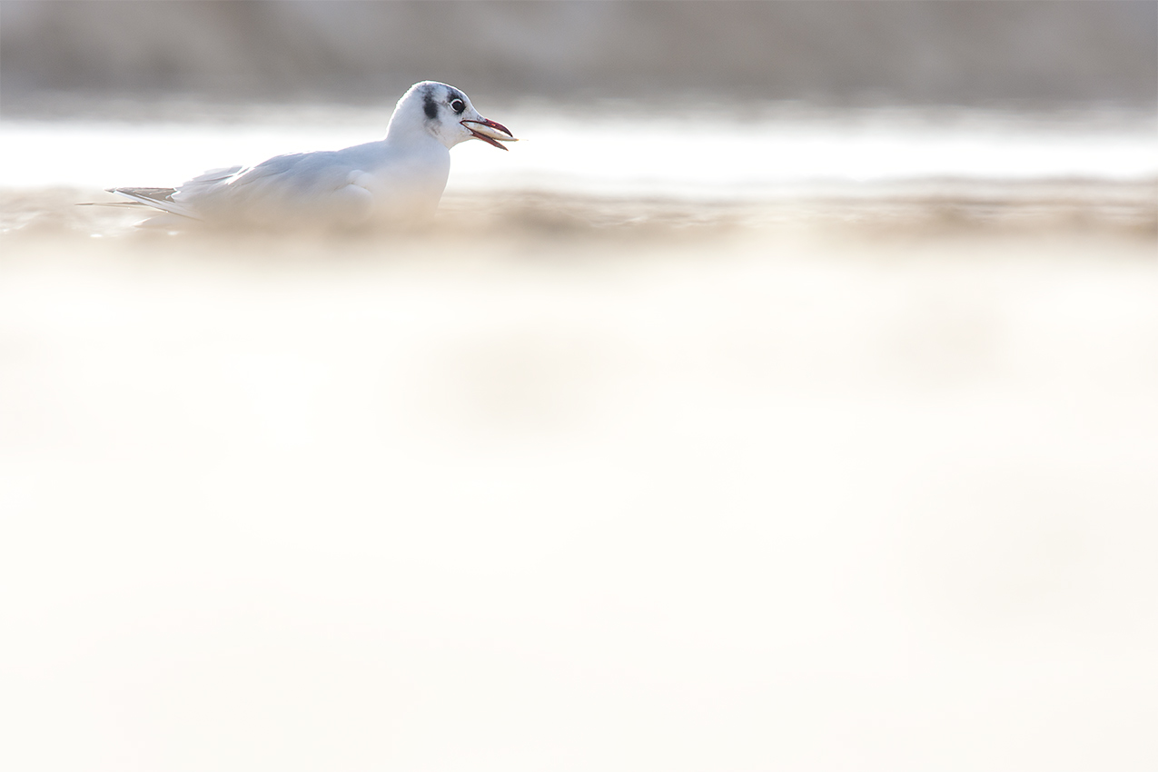 Mouette rieuse / Black-headed gull  (Chroicocephalus ridibundus)