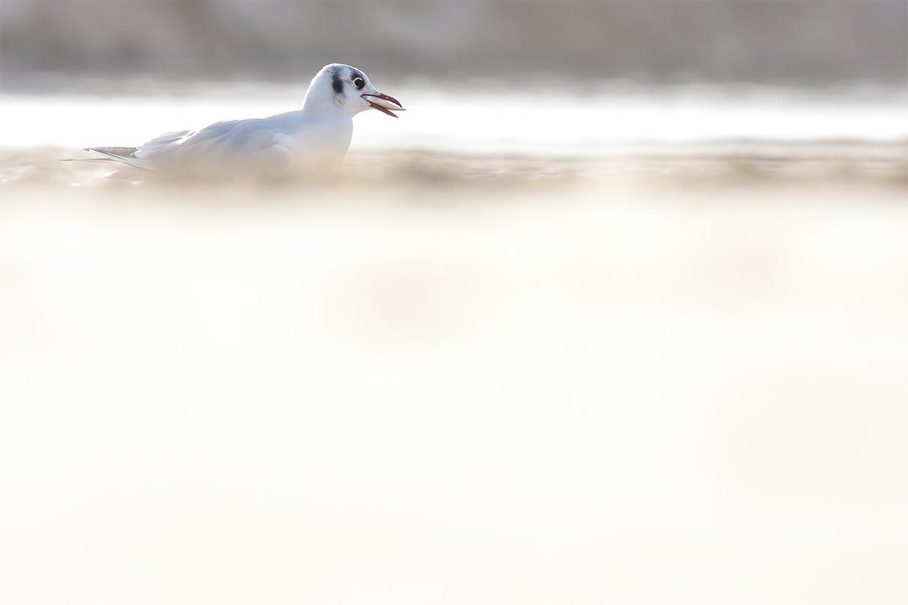 Mouette rieuse / Black-headed gull (Chroicocephalus ridibundus)