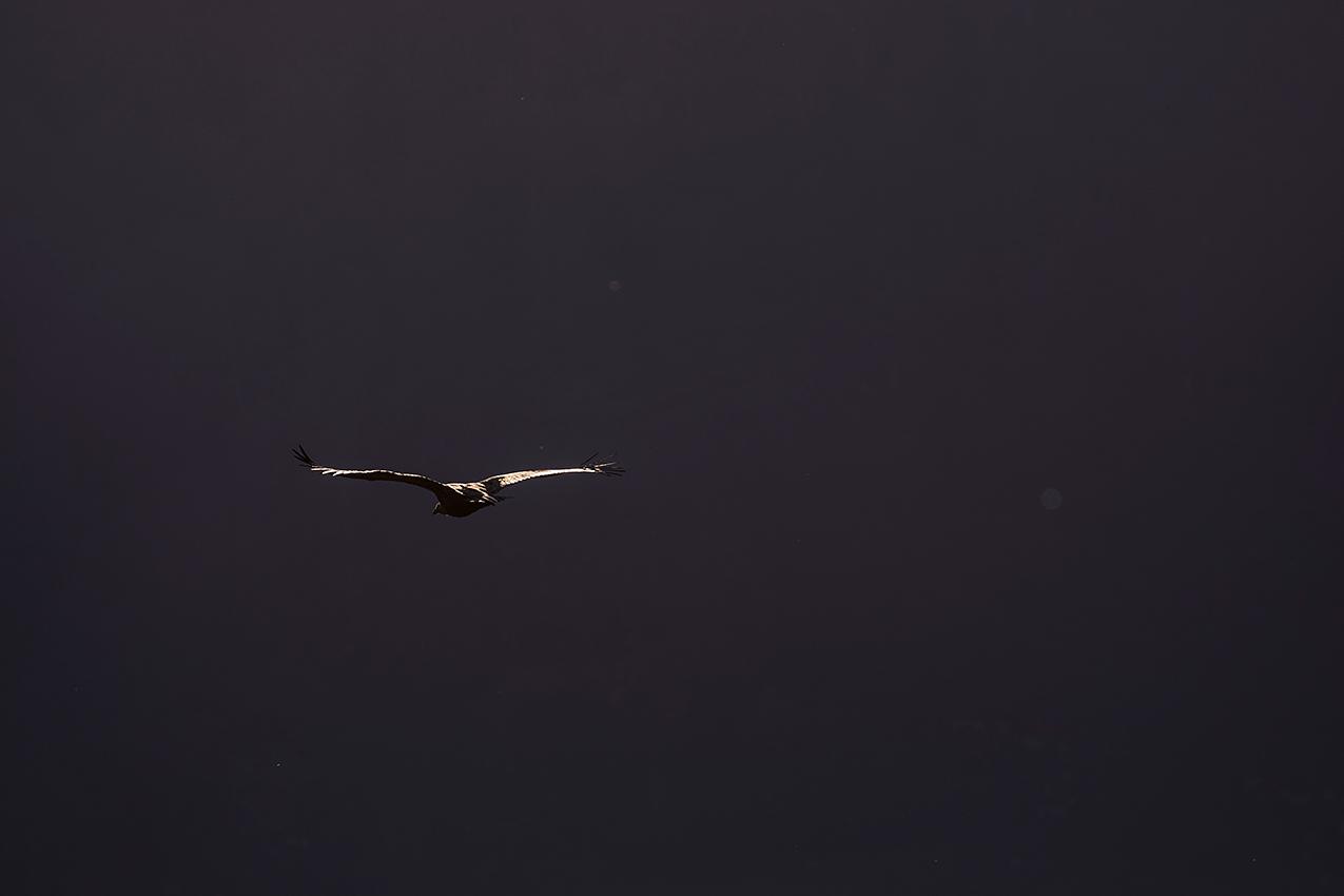 Vautour fauve / Griffon vulture  (Gyps fulvus)