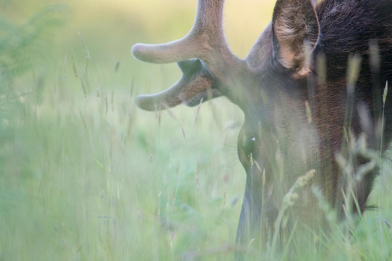 Wapiti de Roosevelt / Roosevelt elk  (Cervus canadensis roosevelti)