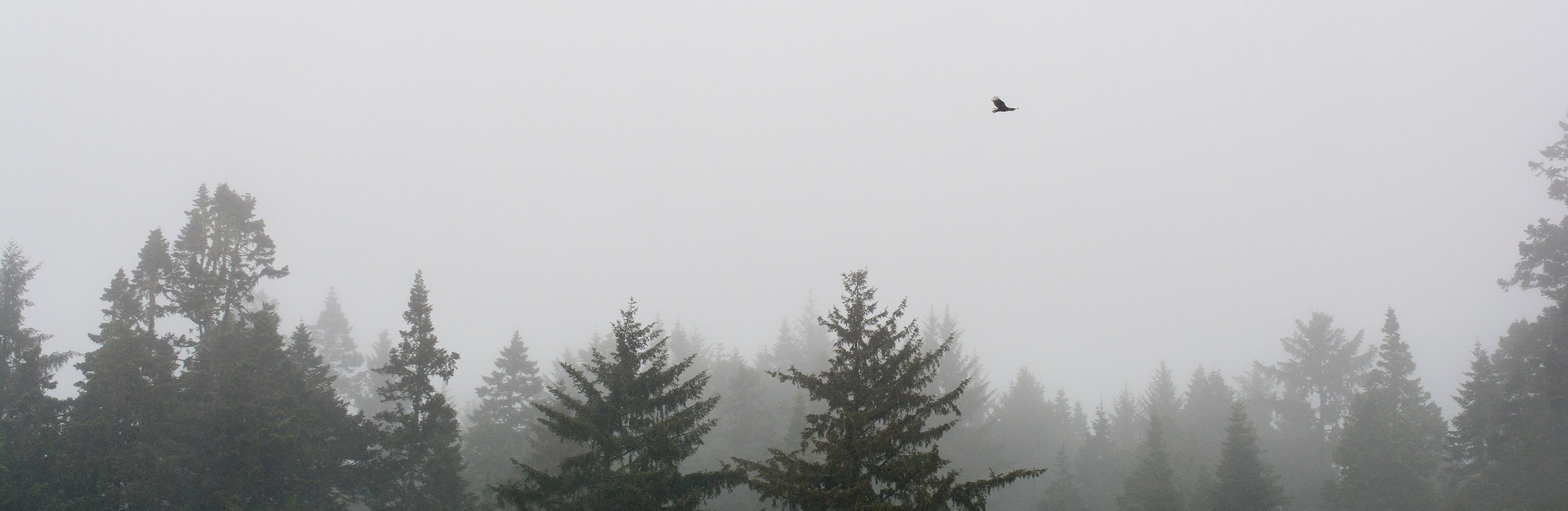 Vautour aura / Turkey vulture  (Cathartes aura)
