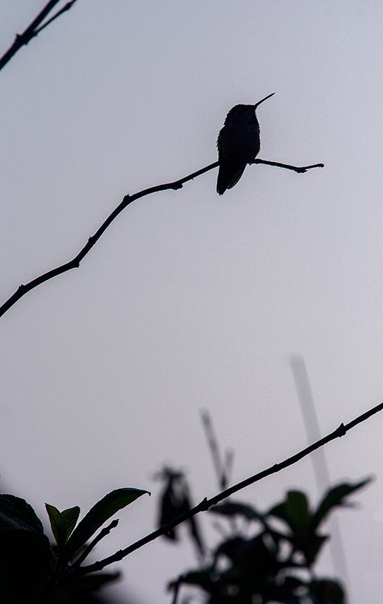 Colibri roux / Rufous Hummingbird  (Selasphorus rufus)