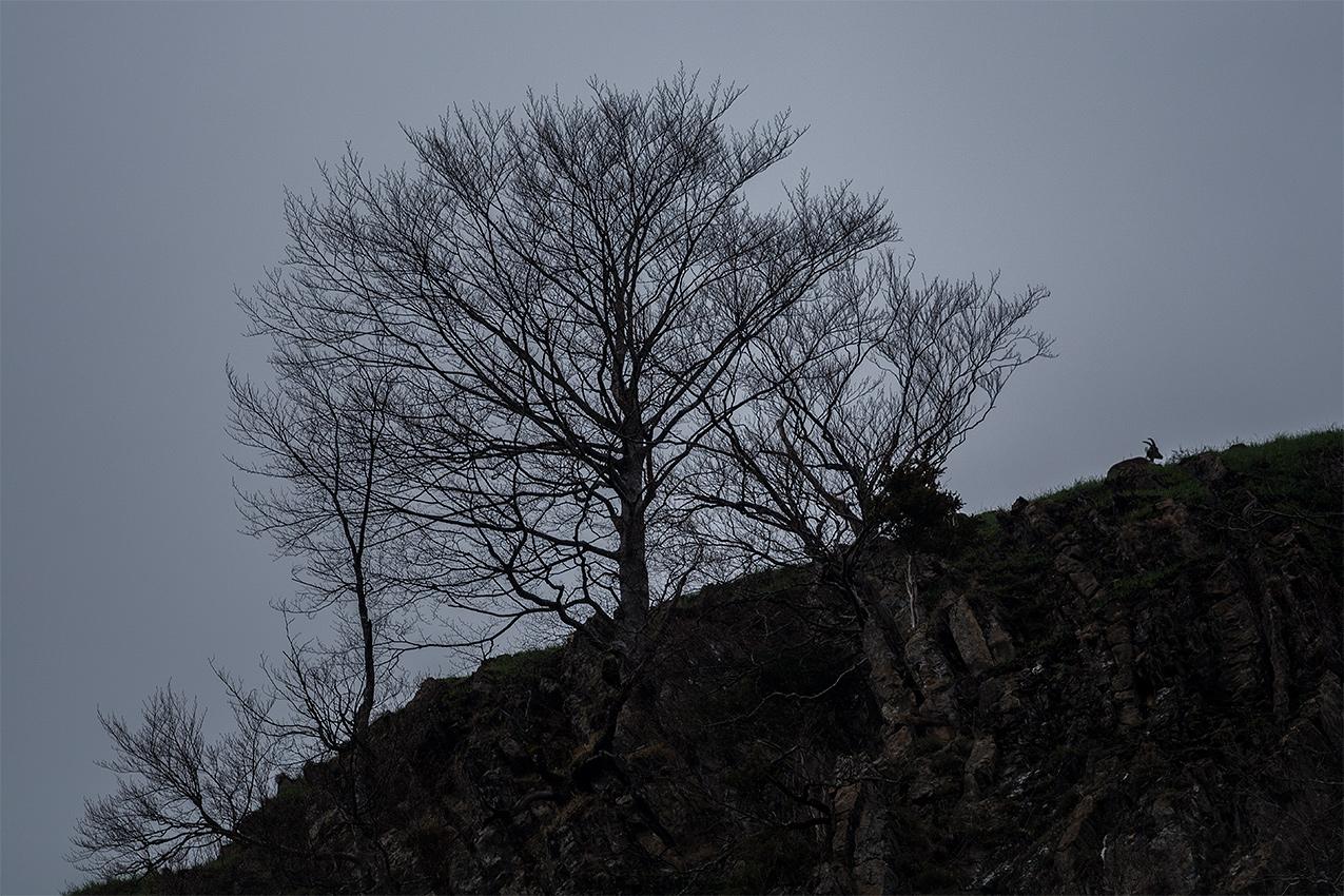 """""""Renaissance""""  Le 11 avril 2019, sept bouquetins ont été relâchés sur les hauteurs de la commune d'Accous. Il s'agit ici du premier animal relâché en vallée d'Aspe. Un siècle après sa disparition, le bouquetin ibérique est de retour dans les montagnes pyrénéennes du Haut-Béarn.  Bouquetin ibérique / Iberian ibex  (Capra pyrenaica)"""