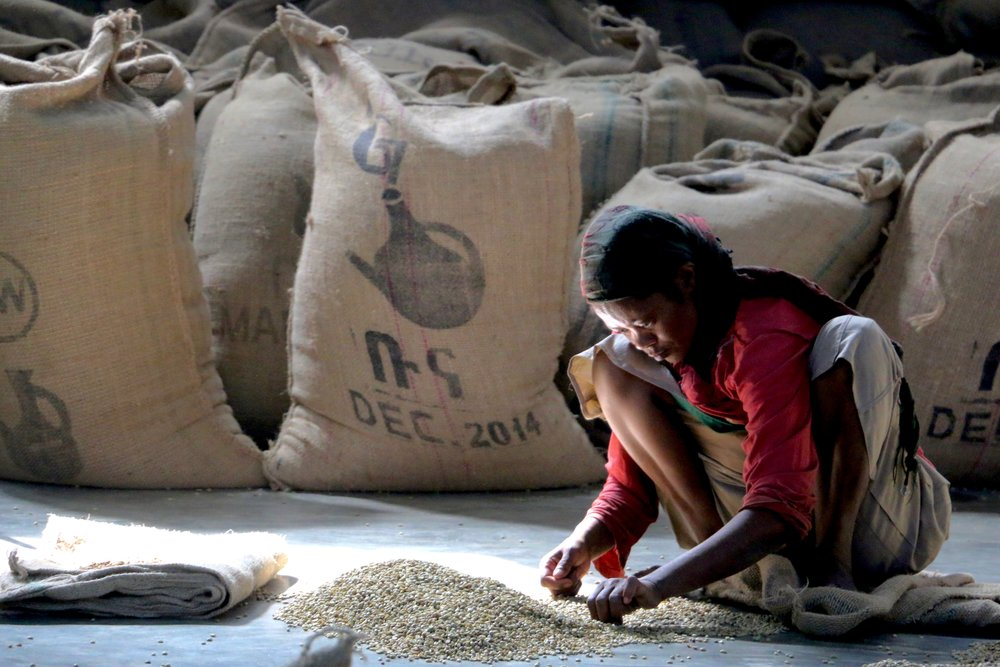 Sorting coffee. Each bag is sorted by hand, bean by bean, twice.