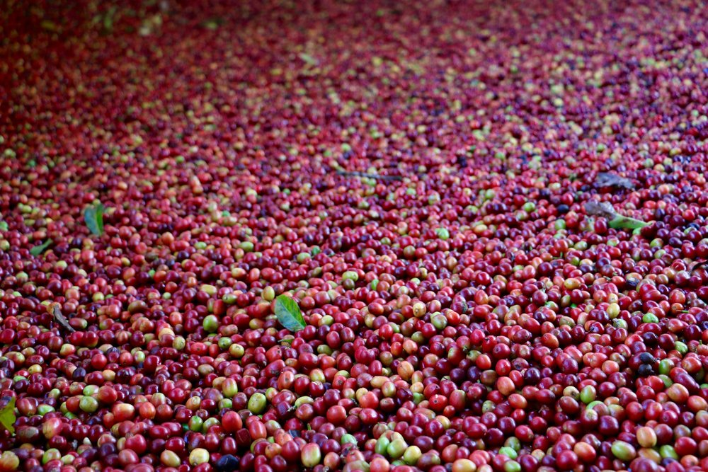 Coffee cherries from the day's harvest.