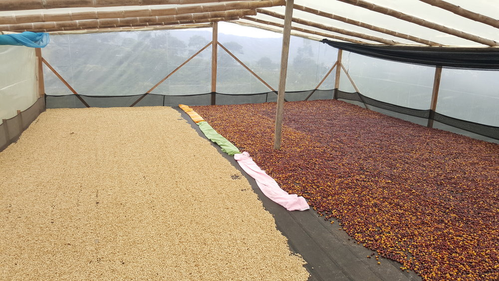 Enclosed drying bed. Fully washed coffee drying to the left of a natural coffee.
