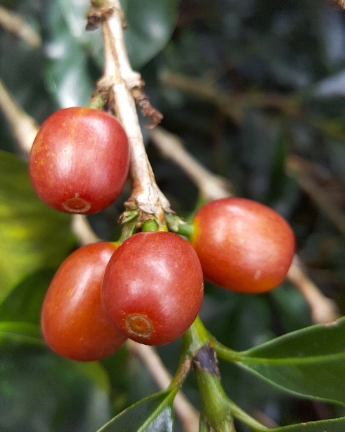 Some coffee varieties ripen to different colors. The cherries on this tree at El Mirador ripen to an orange-red.