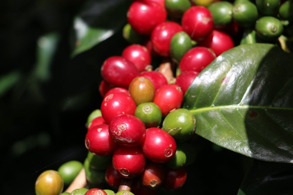 Coffee cherries at Andres' farm.