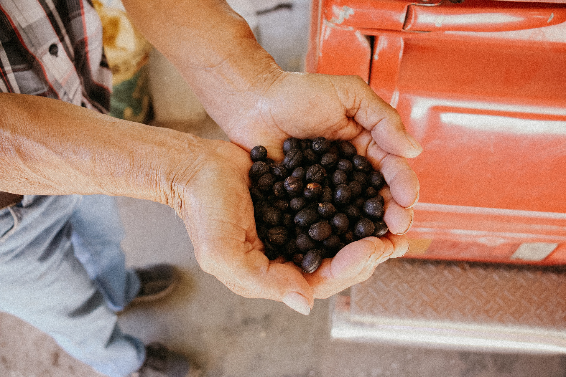 Natural coffees are a newer endeavor for the Villatoros who have traditionally only produced washed coffees.