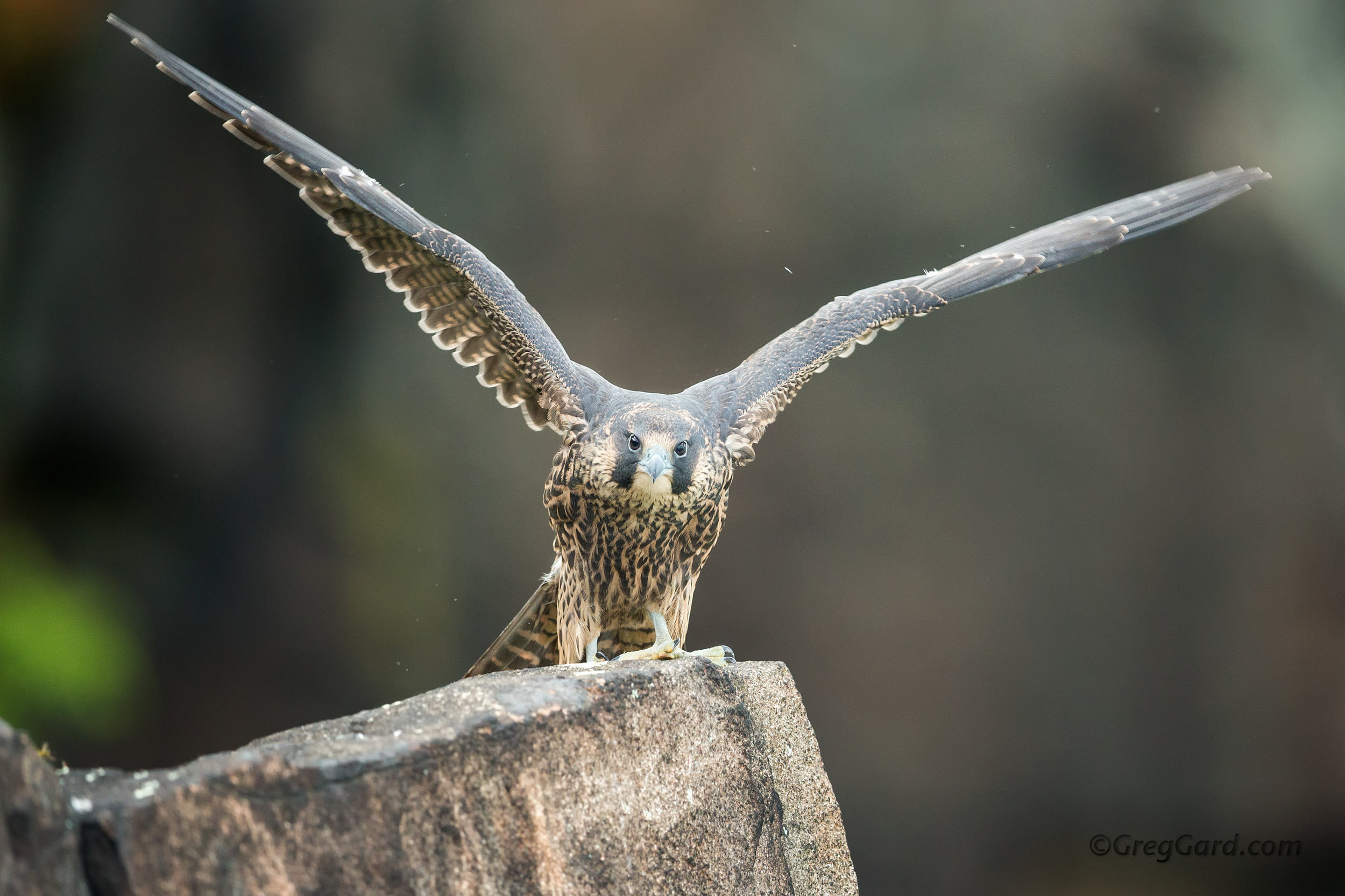 Fledgling Peregrine Falcon flapping its wings
