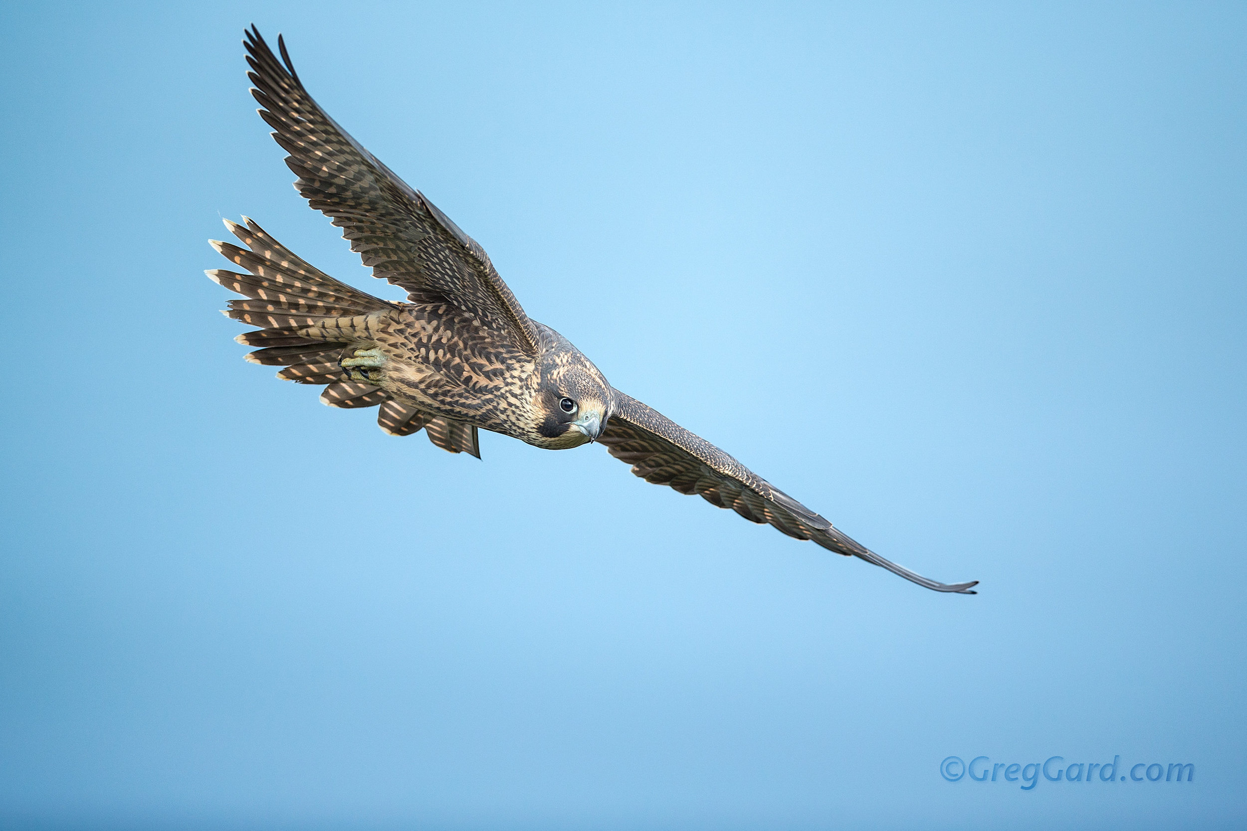 Juvenile Peregrine Falcon flying by