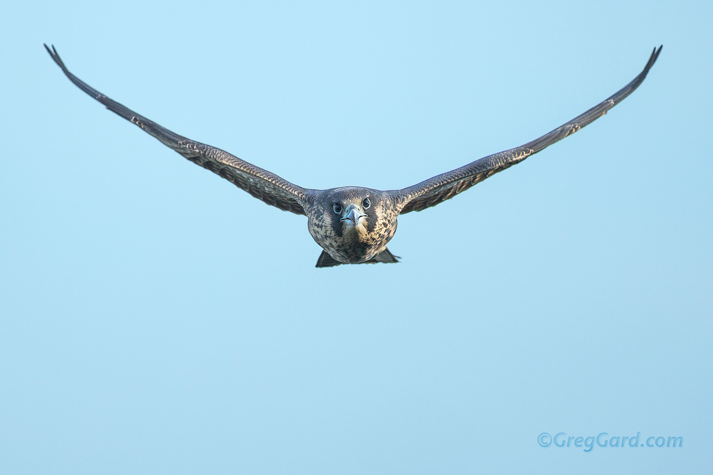 Juvenile male Peregrine Falcon