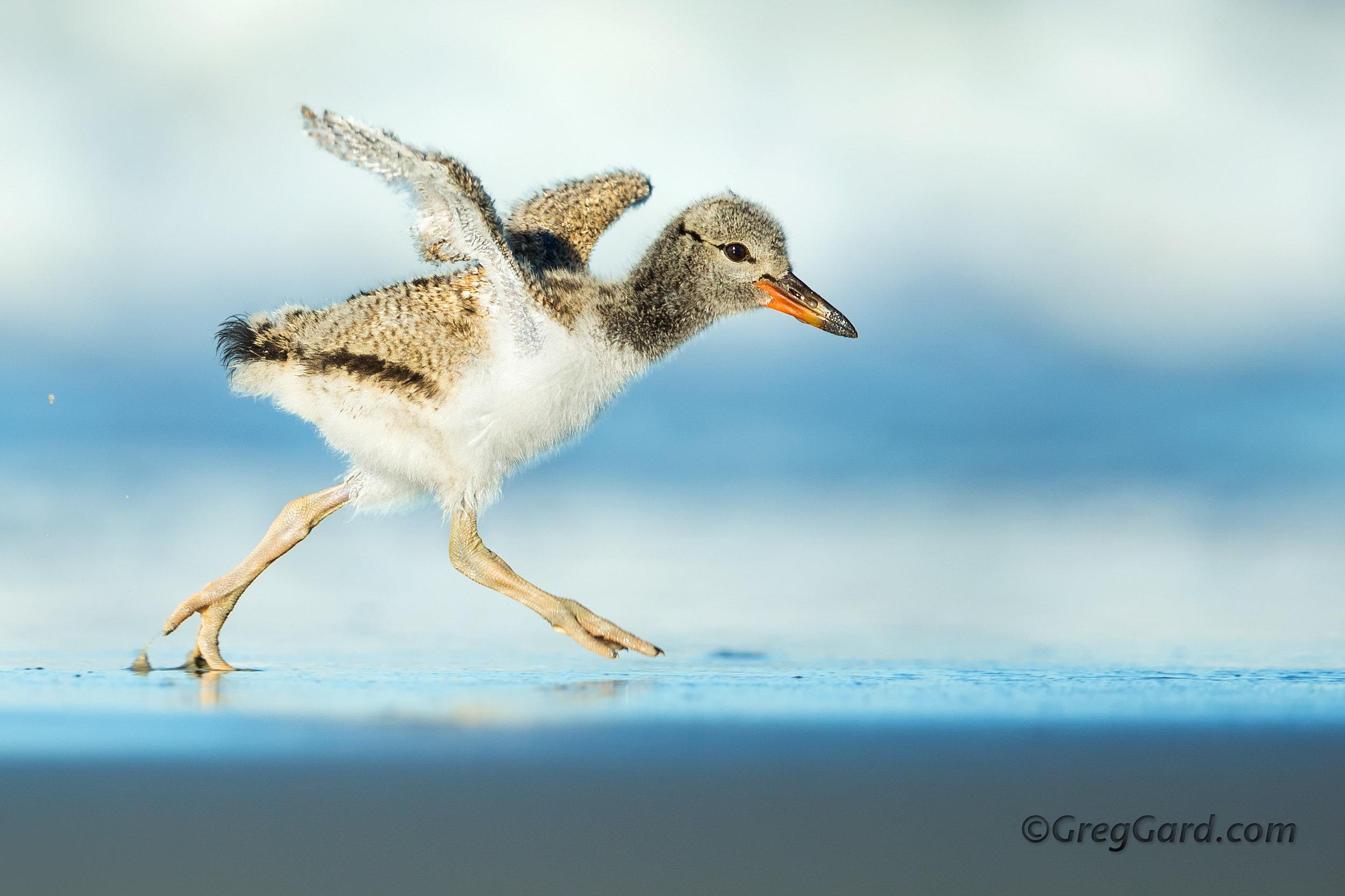 American Oystercatcher chick running