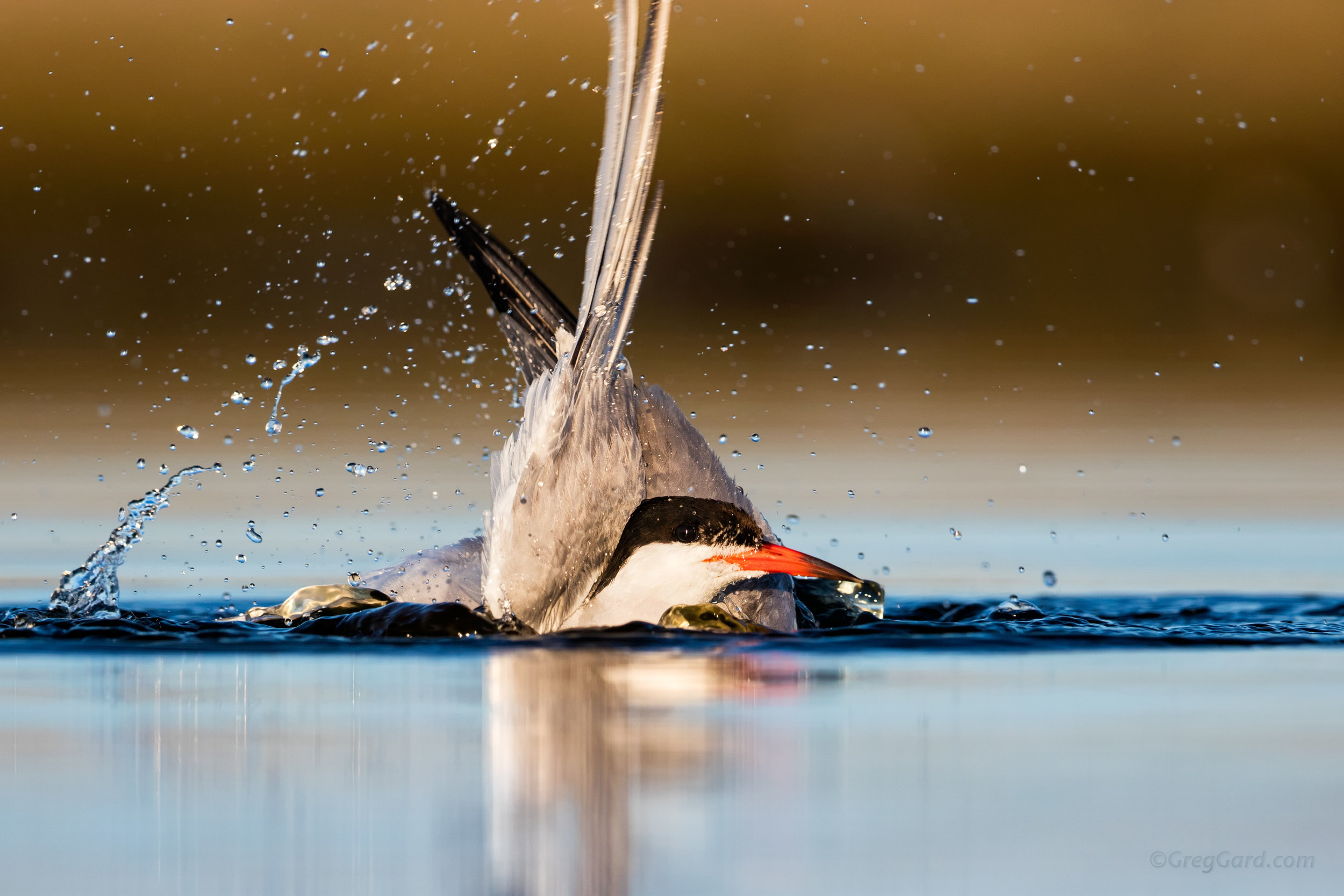 Common Tern taking a bath