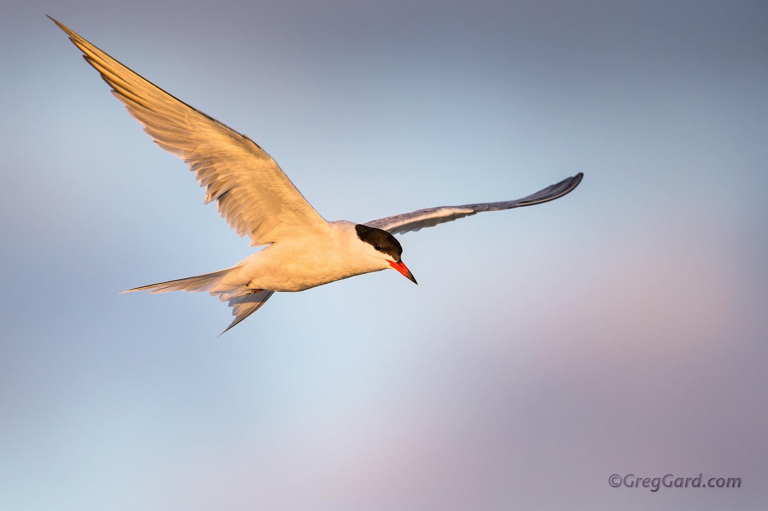 Common Tern adult in-flight