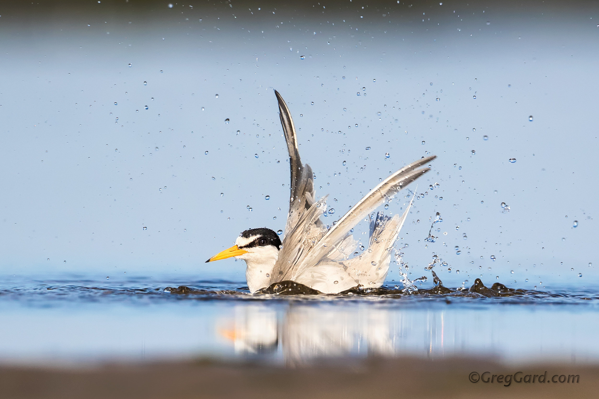 Least Tern bathing