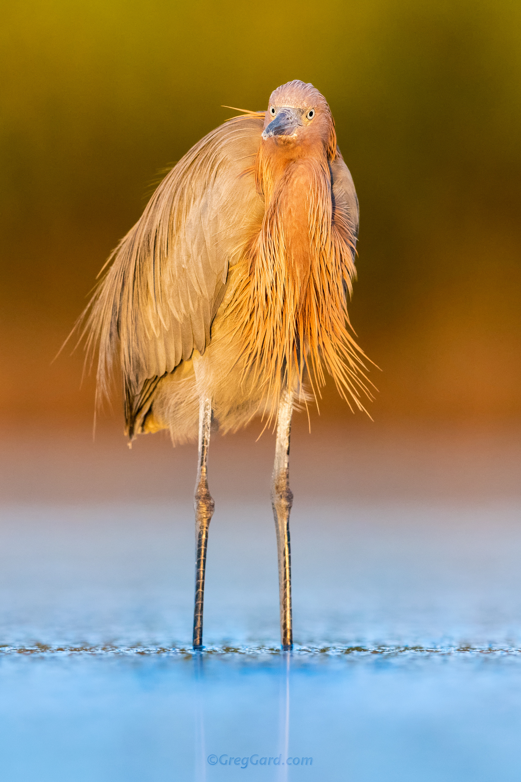 Reddish Egret adult