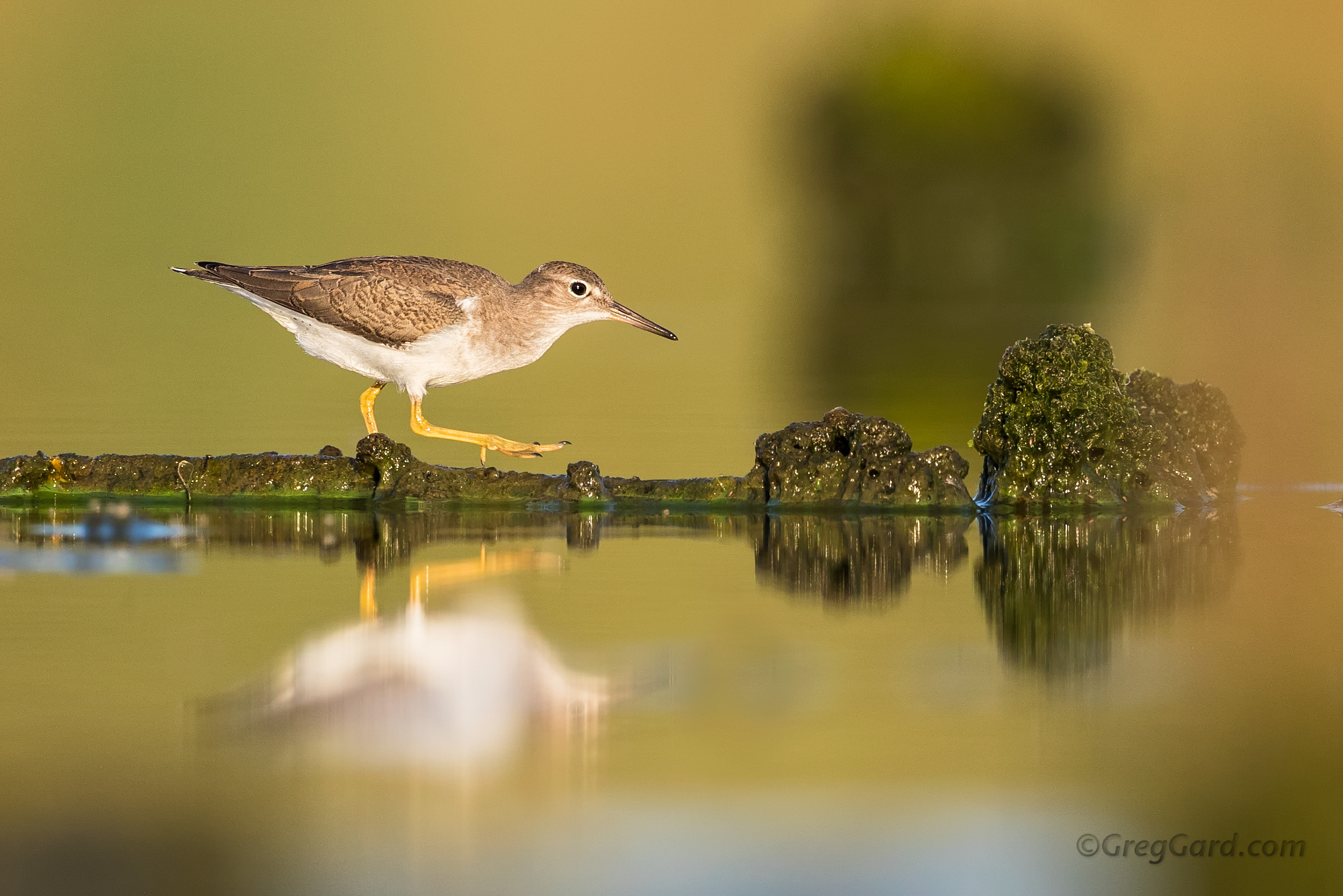 Spotted Sandpiper, Jamaica Bay, New York