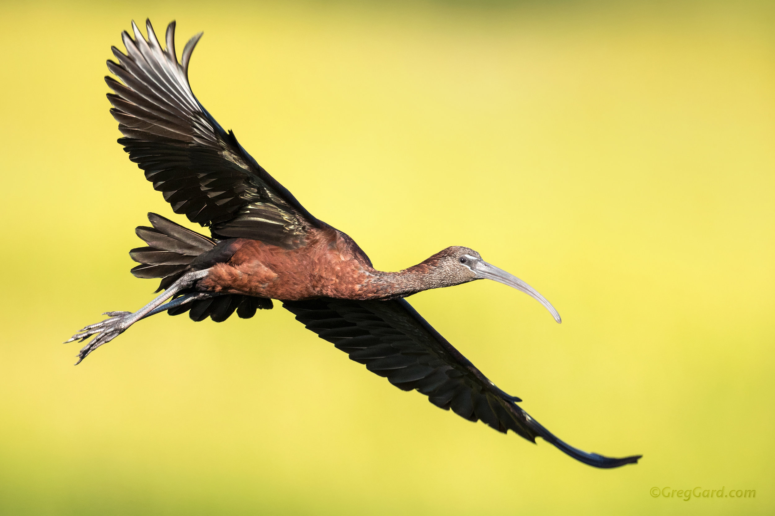 Adult Glossy Ibis flying over the green background, New Jersey
