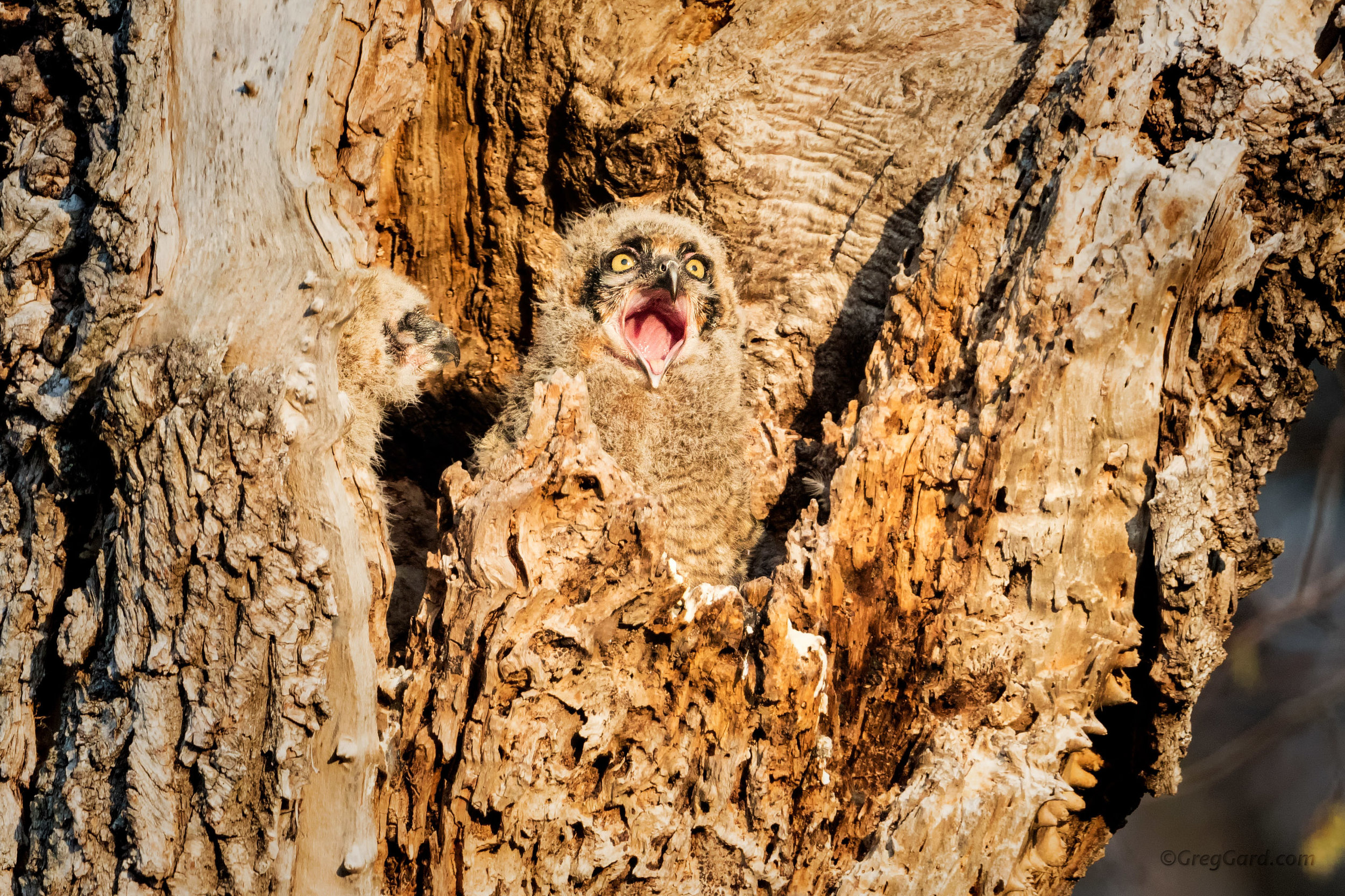 Great Horned Owlet yawning