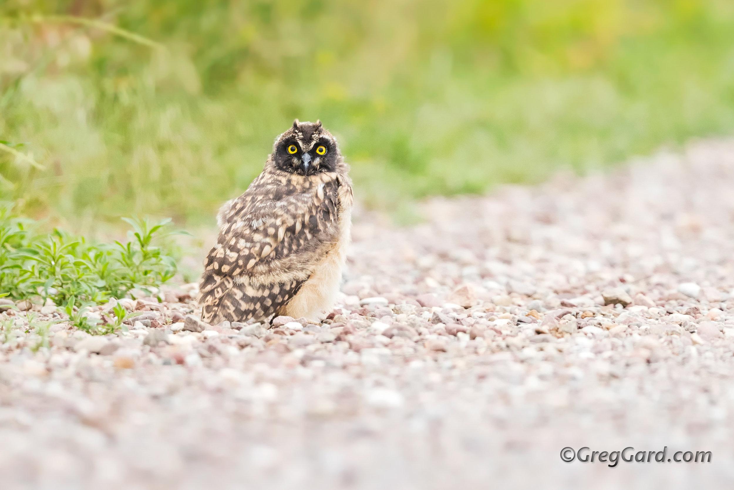 Juvenile Short-eared Owl