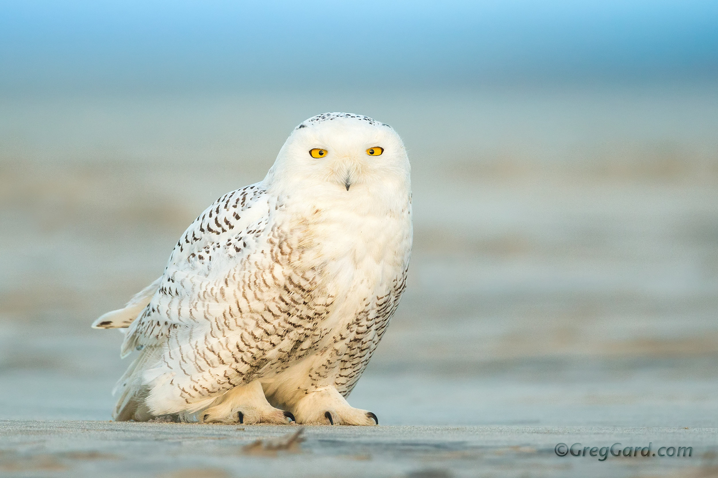 Snowy Owl standing on the beach