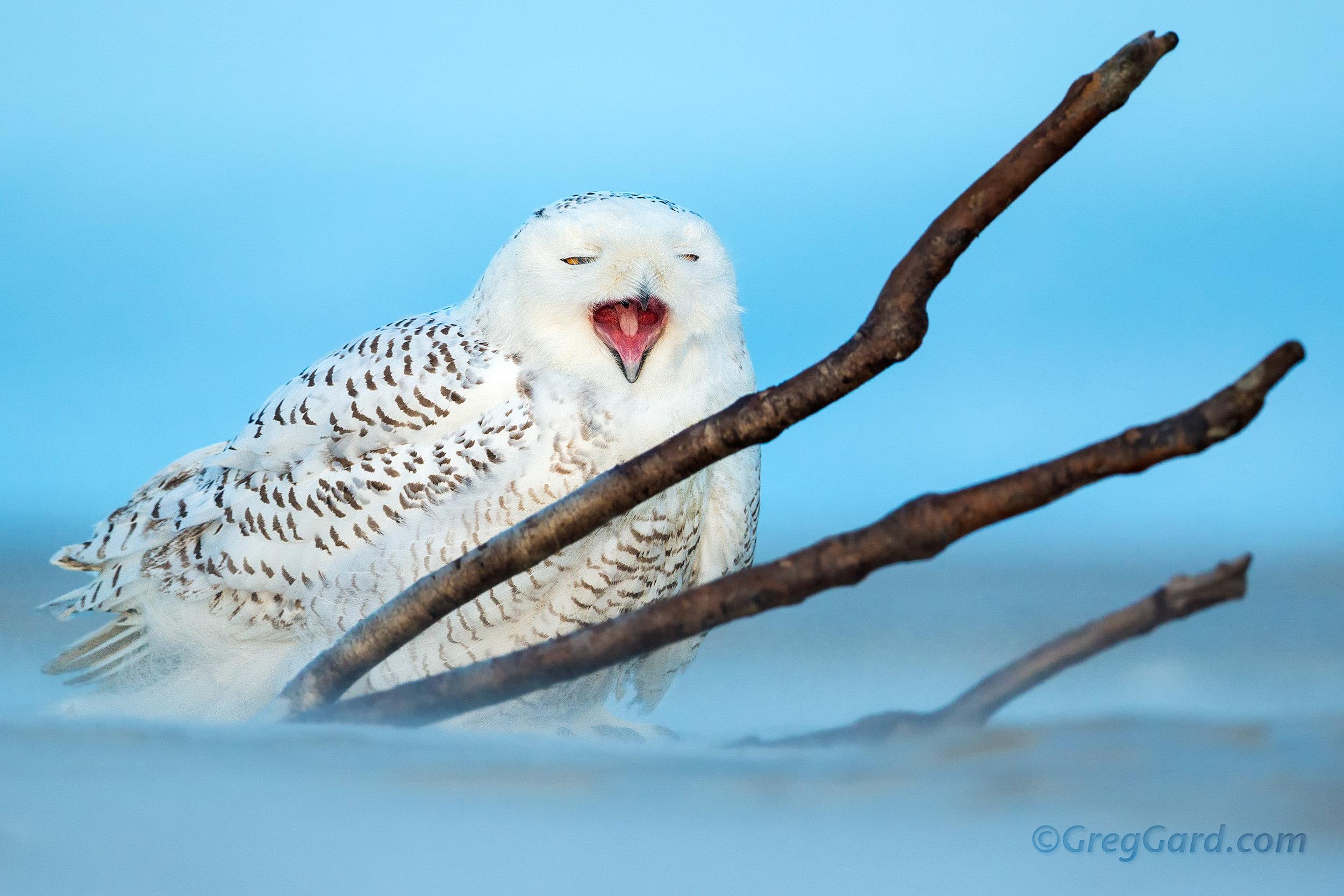 Snwoy Owl